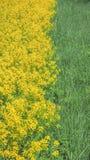 Fond naturel de couleurs jaunes et vertes Canola de floraison en parc naturel St Petersbourg, juin 2017 Photo libre de droits