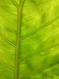 Fond naturel de lame verte La verdure de contre-jour donnent une consistance rugueuse frais Image libre de droits