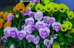 Fond naturel de pensée d'usine colorée de fleur Image stock