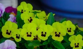 Fond naturel de pensée d'usine colorée de fleur Photo stock