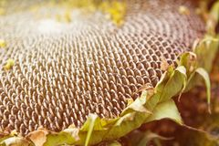 Fond naturel de tournesol mûr photo stock