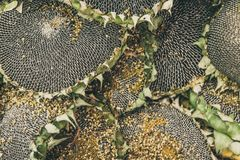 Fond naturel de tournesols mûrs images libres de droits