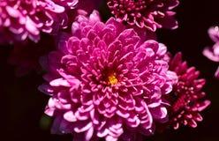 Fond naturel des fleurs roses de chrysanthème avec des baisses de rosée photo libre de droits