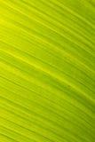 Fond naturel floral de vert de lame de banane photo libre de droits