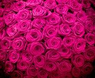 Fond naturel magenta de roses image libre de droits