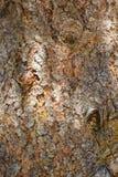 Fond naturel Texture d'écorce d'arbre, sapin impeccable et x28 ; Picéa Abies& x29 ; Image libre de droits