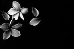Fond noir et blanc de Plumeria Photo libre de droits