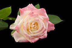 Fond noir rose de Rose Images libres de droits