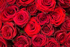 Fond normal rouge de roses Photographie stock