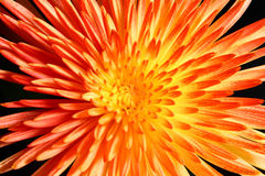 Fond orange de fleur Photographie stock libre de droits