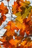 Fond orange de lames d'automne de chêne Images libres de droits