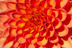 Fond orange de macro de dahlia Photographie stock