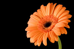 Fond orange de noir de Gerbera Photographie stock