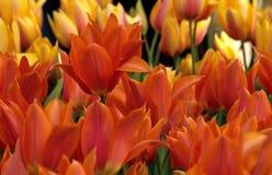 Fond orange de tulipe Photographie stock