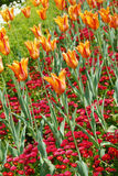 Fond orange de tulipes Photo stock