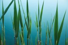 Fond organique tropical avec les feuilles vertes du jonc sur l'eau bleue du lac photographie stock