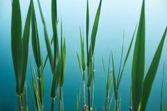 Fond organique tropical avec les feuilles vertes du jonc sur l'eau bleue du lac photo libre de droits