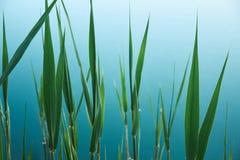 Fond organique tropical avec les feuilles vertes du jonc sur l'eau bleue du lac photo stock
