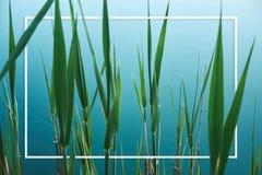 Fond organique tropical avec les feuilles vertes du jonc sur l'eau bleue du lac photographie stock libre de droits