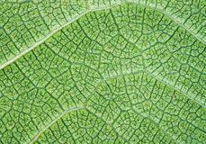 Fond ou texture vert abondant de plan rapproché de lame Image libre de droits