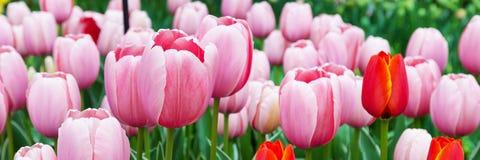 Fond panoramique de plan rapproché de rose de vacances colorées vibrantes de tulipes Photos libres de droits