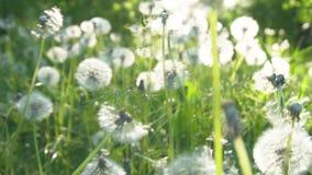 Fond parfait de ressort par les pissenlits et l'herbe verte fraîche banque de vidéos