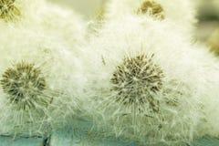 Fond pelucheux de pissenlit de beauté Image stock