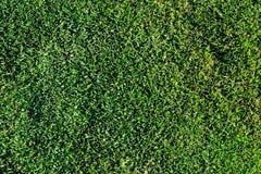 Fond peu profond d'herbe verte Images libres de droits