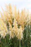 Fond plumeux d'herbe extérieur Photographie stock libre de droits