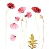 Fond pressé et sec de fleur de pavots photographie stock libre de droits