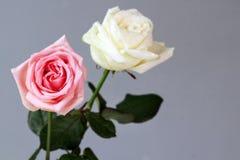 Fond profond d'amour de parfum rose blanc d'amour de Rose Couple Images stock