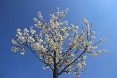 Fond pur de ciel bleu de Cherry Flowers Blooming With Clear photographie stock libre de droits