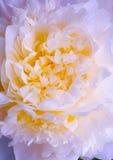 Fond rose abstrait de fleur de source de pivoine Photographie stock libre de droits