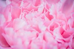 Fond rose abstrait de fleur de pivoine utilisé comme illustr de fond Images libres de droits