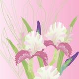 Fond rose avec les iris roses Photographie stock libre de droits