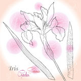 Fond rose avec un iris Image stock