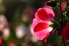 Fond rose-clair de fleurs de nature discrète Image libre de droits
