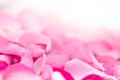 fond rose-clair frais de pétale de rose avec la baisse de pluie de l'eau Photos libres de droits