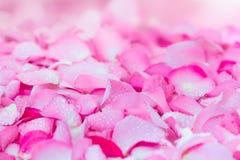 fond rose-clair frais de pétale de rose avec la baisse de pluie de l'eau Photo libre de droits