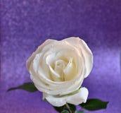 Fond rose de blanc Images libres de droits