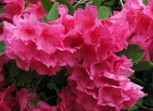 Fond rose de carte de jour de valentines de fleur de rhododendron Photographie stock