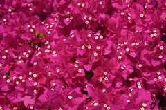 Fond rose de fleur de bouganvillée Images libres de droits