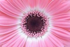 Fond rose de fleur de gerbera Image libre de droits