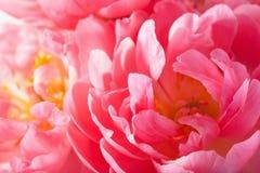 Fond rose de macro de pétales de fleur de pivoine Photos libres de droits