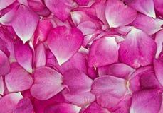 fond rose de pétale de Rose Photos libres de droits