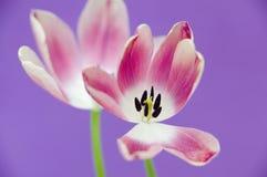 Fond rose de pourpre de tulipes Photos libres de droits