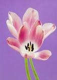 Fond rose de pourpre de tulipes Photographie stock