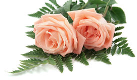 Fond rose de roses sur le blanc Images stock