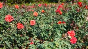 Fond rose de rouge Images stock
