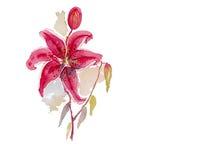 Fond rose de vecteur d'aquarelle de lis Photos libres de droits